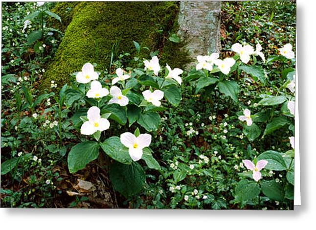 Gatlinburg Tennessee Greeting Cards - Trillium Wildflowers On Plants, Chimney Greeting Card by Panoramic Images