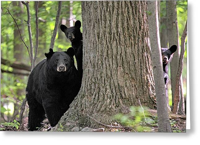 Stokes State Forest Greeting Cards - Trio Greeting Card by Dawn J Benko