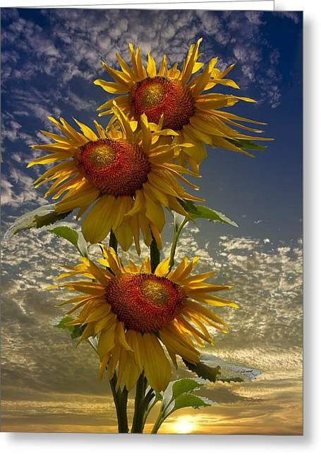 Swiss Photographs Greeting Cards - Trio of Sunflowers Greeting Card by Debra and Dave Vanderlaan