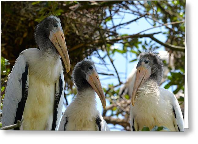 Jacksonville Greeting Cards - Triplet Wood Stork Nestlings Greeting Card by Richard Bryce and Family