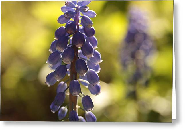 Purple Grapes Photographs Greeting Cards - Tripping The Light Fantastic Greeting Card by Connie Handscomb