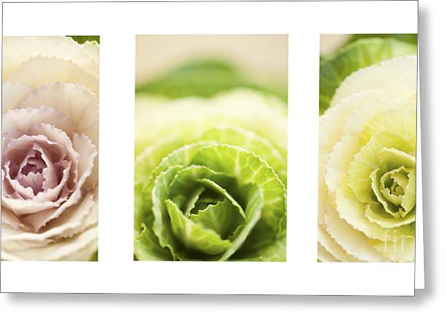 Close Focus Floral Greeting Cards - Triptych of Ornamental Cabbages Greeting Card by Anne Gilbert