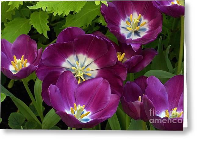 Byron Varvarigos Greeting Cards - Triumph Tulips Negrita Variety Greeting Card by Byron Varvarigos