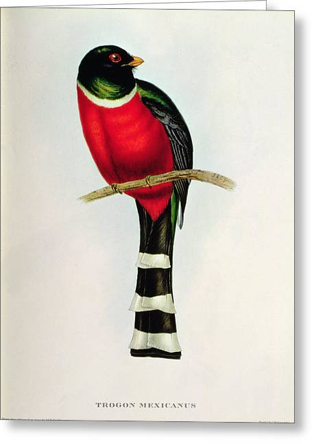 Tail Feather Greeting Cards - Trogon Mexicanus Greeting Card by John Gould