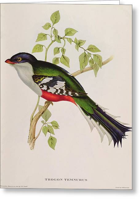Ornithological Photographs Greeting Cards - Trogon Temnurus From Tropical Birds, 19th Century Coloured Litho Greeting Card by John Gould