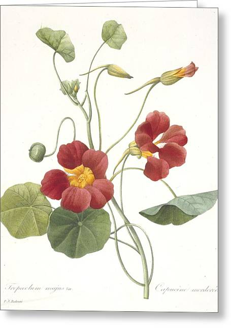 Botanical Greeting Cards - Tropaeolum Majus Garden Nasturtium Greeting Card by Pierre Joseph Redoute