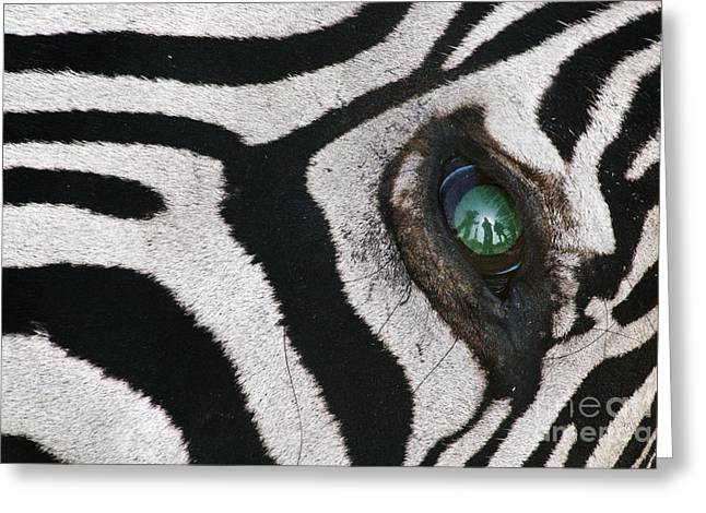 Animal Body Part Greeting Cards - Trophy hunter in eye of dead zebra Greeting Card by Frans Lanting MINT Images