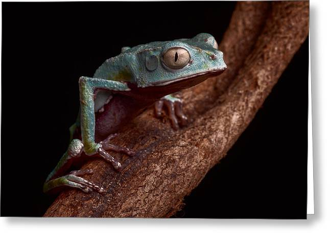 Treefrog Greeting Cards - Tropical Amazon rain forest tree frog Greeting Card by Dirk Ercken
