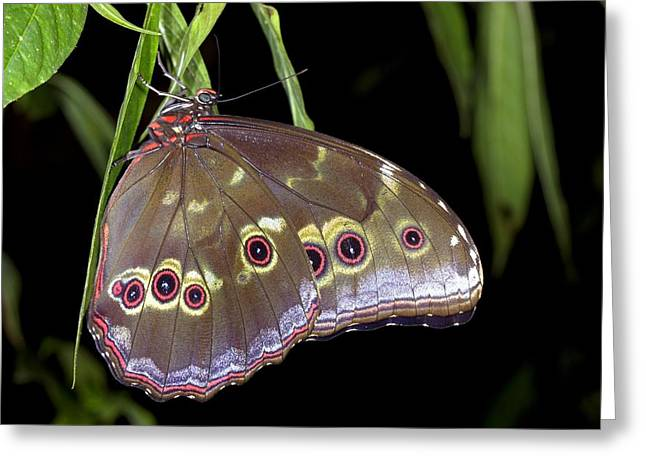 Forest At Night Greeting Cards - Tropical butterfly Greeting Card by Science Photo Library