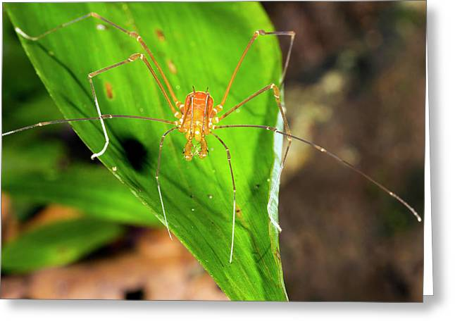 Tropical Harvestman On A Leaf Greeting Card by Dr Morley Read