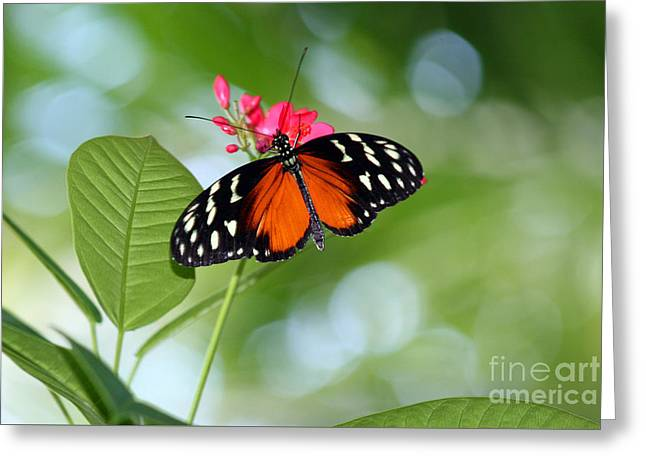 Tropical Hecale Butterfly Greeting Card by Karen Adams
