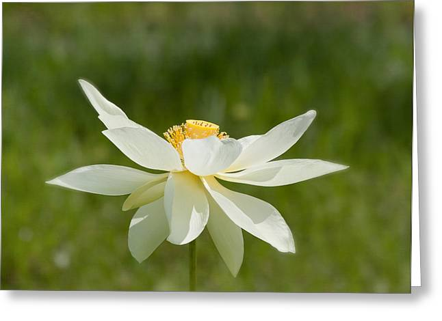 White Lotus Greeting Cards - Tropical Lotus Flower Greeting Card by Kim Hojnacki