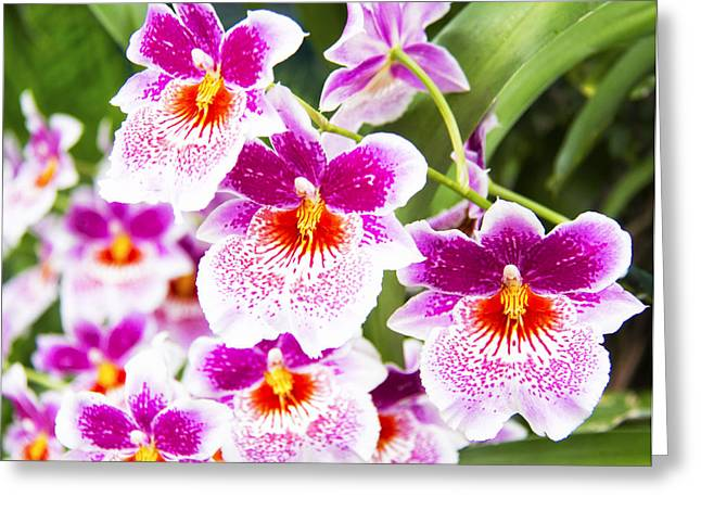 Fushia Greeting Cards - Tropical Miltoniopsis Purple Orchids Greeting Card by Daphne Sampson