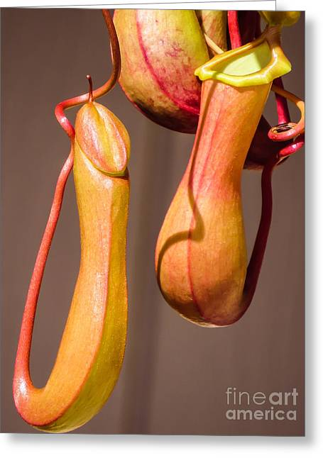 Translucence Greeting Cards - Tropical pitcher plant			 Greeting Card by Zina Stromberg