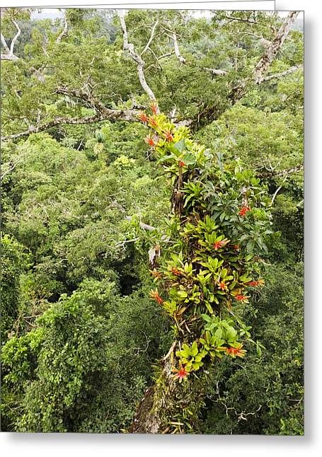 Epiphyte Greeting Cards - Tropical rainforest epiphytes Greeting Card by Science Photo Library