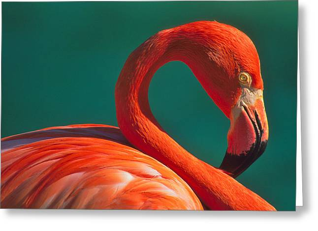 Greater Flamingo Greeting Cards - Tropical Rose Greeting Card by Tony Beck