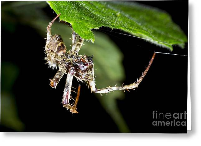 Detect Greeting Cards - Tropical Spider Detecting Prey Greeting Card by Dr Morley Read