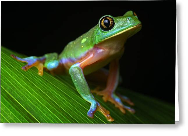Tree Frog Greeting Cards - Tropical Tree Frog Greeting Card by Dirk Ercken