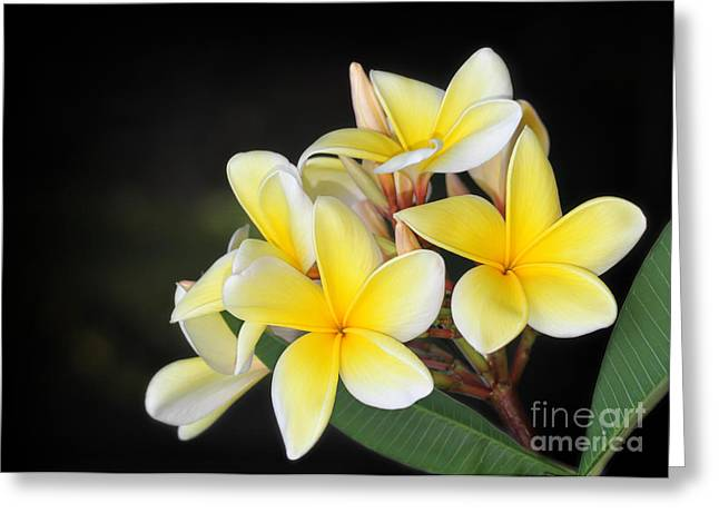 Florida Flowers Greeting Cards - Tropical Yellow Frangipani Greeting Card by Sabrina L Ryan