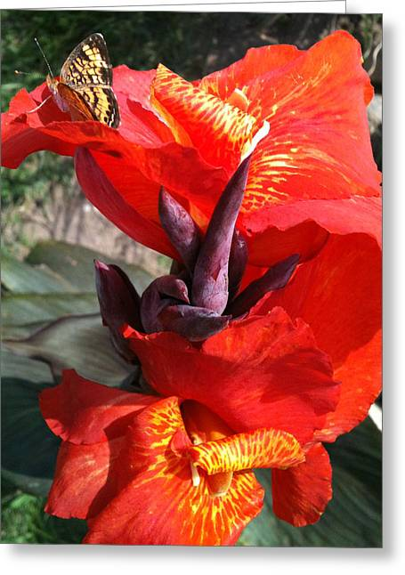 Canna Tropicanna Greeting Cards - Tropicanna with Butterfly Greeting Card by Jennifer Phares