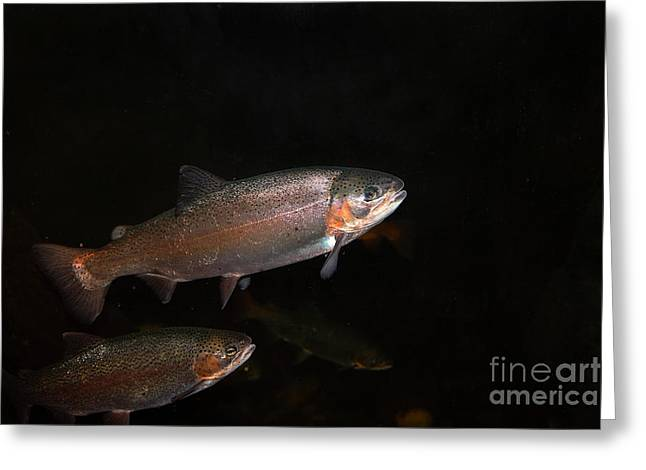 Aquarium Fish Greeting Cards - Trout 5D24842 Greeting Card by Wingsdomain Art and Photography