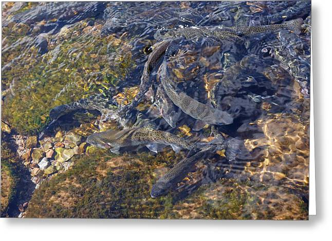 Trout Canvas Greeting Cards - Trout Art Prints Creek Lake Trout Photography Greeting Card by Baslee Troutman