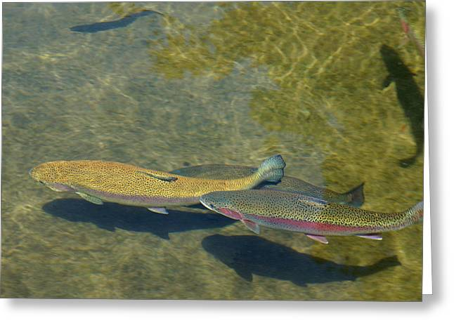 Baslee Troutman Greeting Cards - Trout Art Prints Wild Game Sports Fishing Greeting Card by Baslee Troutman
