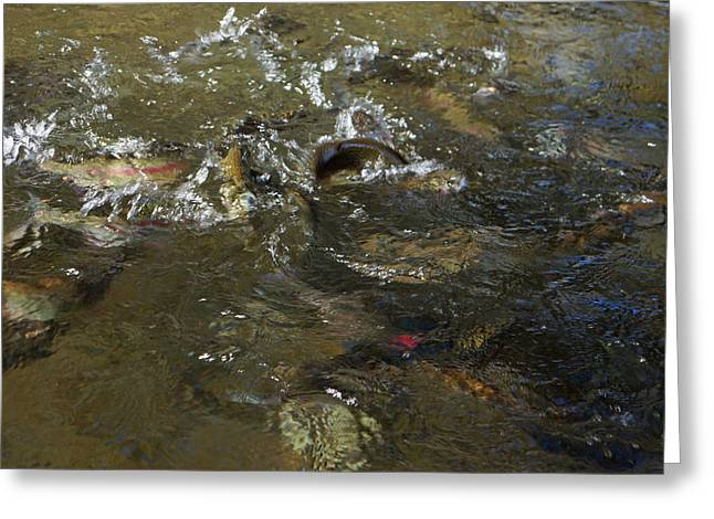 Trout Canvas Greeting Cards - Trout Feeding Surface Rainbow trout Art Prints Greeting Card by Baslee Troutman