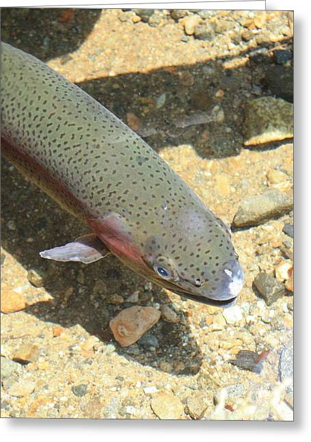 Evgeny Pisarev Greeting Cards - Trout in clear water Greeting Card by Evgeny Pisarev