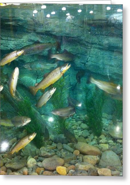 Rainbow Trout Greeting Cards - Trout Pond Greeting Card by Kathy Schlager