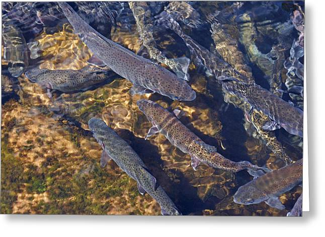 Trout Prints Rainbow Lake River Trout Greeting Card by Baslee Troutman