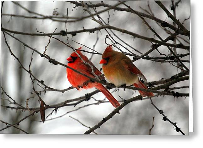 Male Northern Cardinal Greeting Cards - True Love Cardinal Greeting Card by Peggy  Franz
