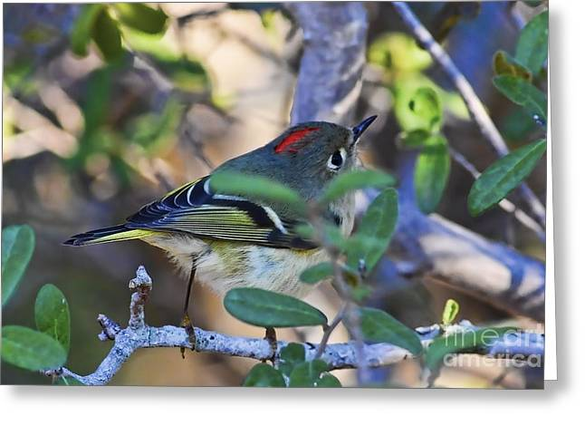 Ruby-crowned Kinglet Birds Greeting Cards - True Redhead Greeting Card by Gary Holmes