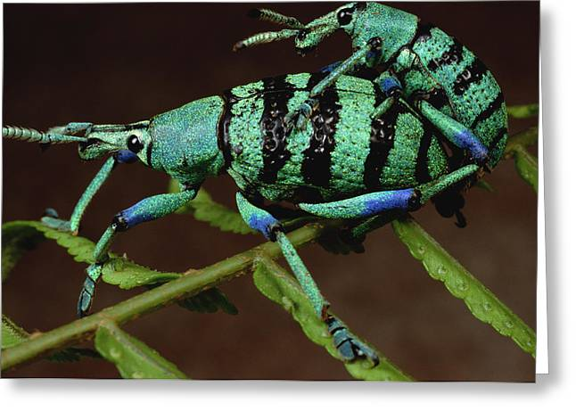 True Color Photograph Greeting Cards - True Weevil Couple Mating Papua New Greeting Card by Mark Moffett