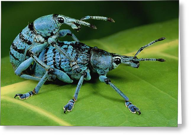 True Color Photograph Greeting Cards - True Weevil Pair Mating Papua New Guinea Greeting Card by Mark Moffett
