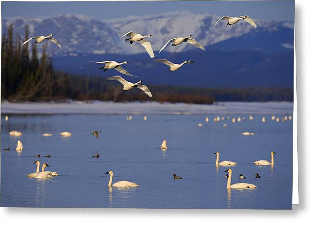 Beautiful Scenery Greeting Cards - Trumpeter & Tundra Swans Rest  Marsh Greeting Card by John Hyde