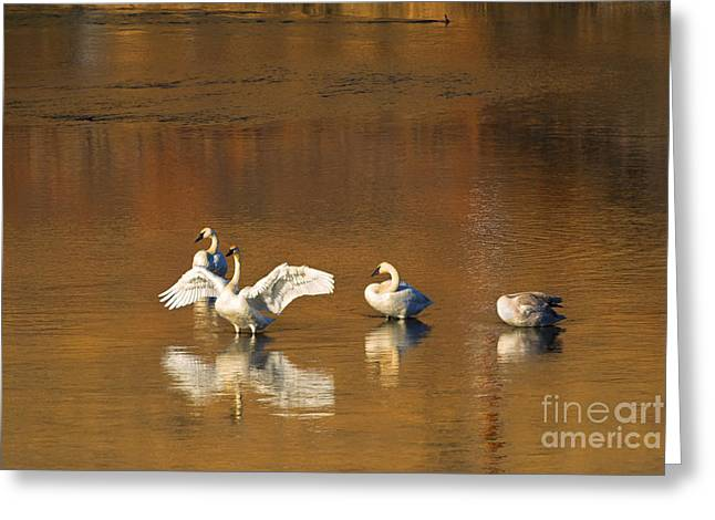 Yakima River Greeting Cards - Trumpeter Ballet Greeting Card by Mike  Dawson