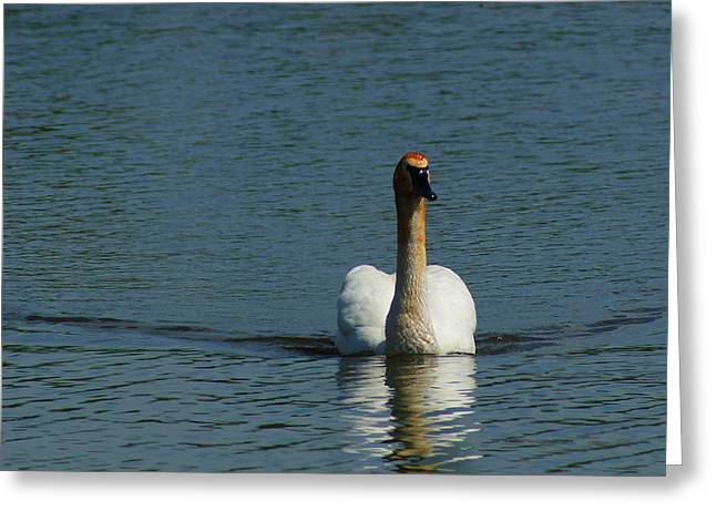 Swans... Greeting Cards - Trumpeter Swan Greeting Card by Andrew Lahay