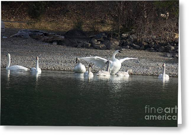 Swans... Greeting Cards - Trumpeter Swan Family Greeting Card by June Hatleberg Photography