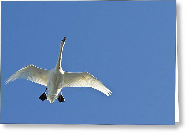 Harts Greeting Cards - Trumpeter Swan In Flight Greeting Card by Cathy Hart