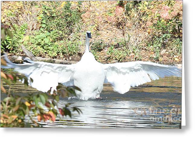 Swans... Greeting Cards - Trumpeter Swan Greeting Card by John Telfer
