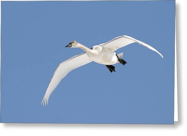 Jul08 Greeting Cards - Trumpeter Swan, Lake Ontario, Ontario Greeting Card by Doug Hamilton