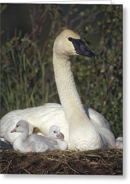 Three Chicks Greeting Cards - Trumpeter Swan On Nest With Chicks Greeting Card by Michael Quinton