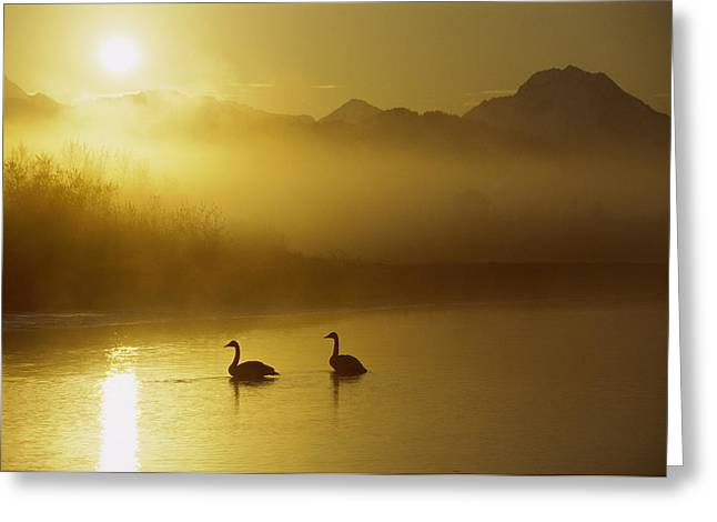 Trumpeter Swan Pair At Sunset Greeting Card by Michael Quinton