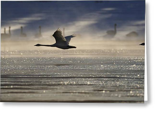 Swans... Greeting Cards - Trumpeter Swan Silhouetted In Flight Greeting Card by Peter Mather