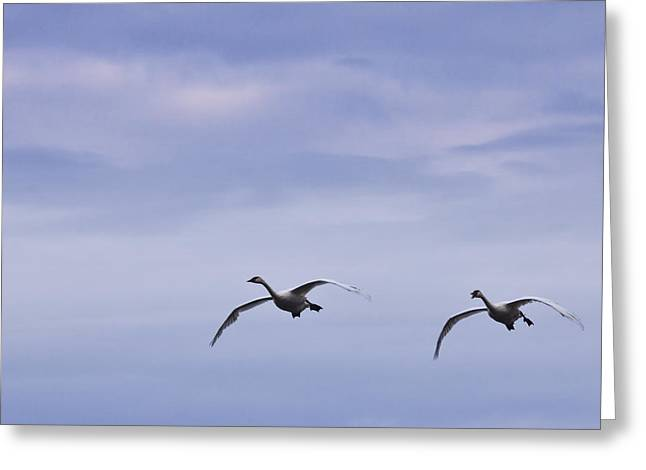 Flying Swan Greeting Cards - Trumpeter Swans in Flight Greeting Card by Randall Nyhof