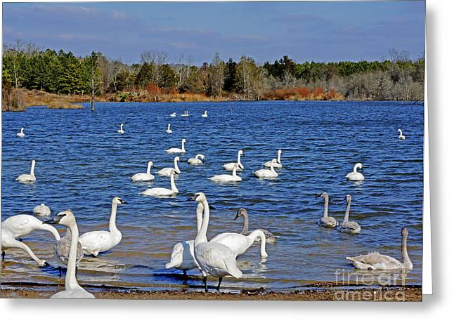 Heber Springs Greeting Cards - Trumpeter Swans of Arkansas Greeting Card by Kevin Pugh