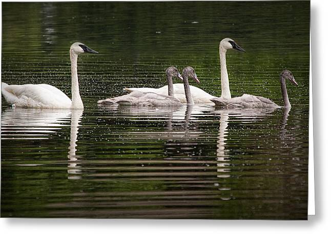 Water Fowl Greeting Cards - Trumpeter Swans on Evergreen Lake Greeting Card by Randall Nyhof