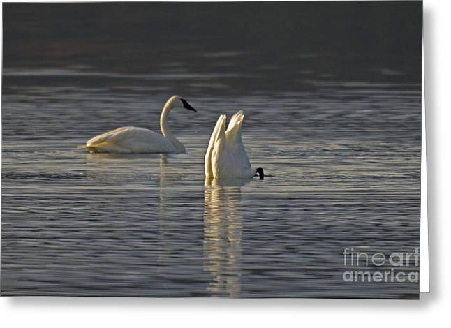 Trumpeter Swans Greeting Card by Ron Sanford
