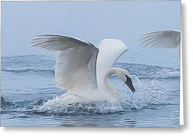 Swans... Greeting Cards - Trumpeter Swans Touchdown Greeting Card by Patti Deters